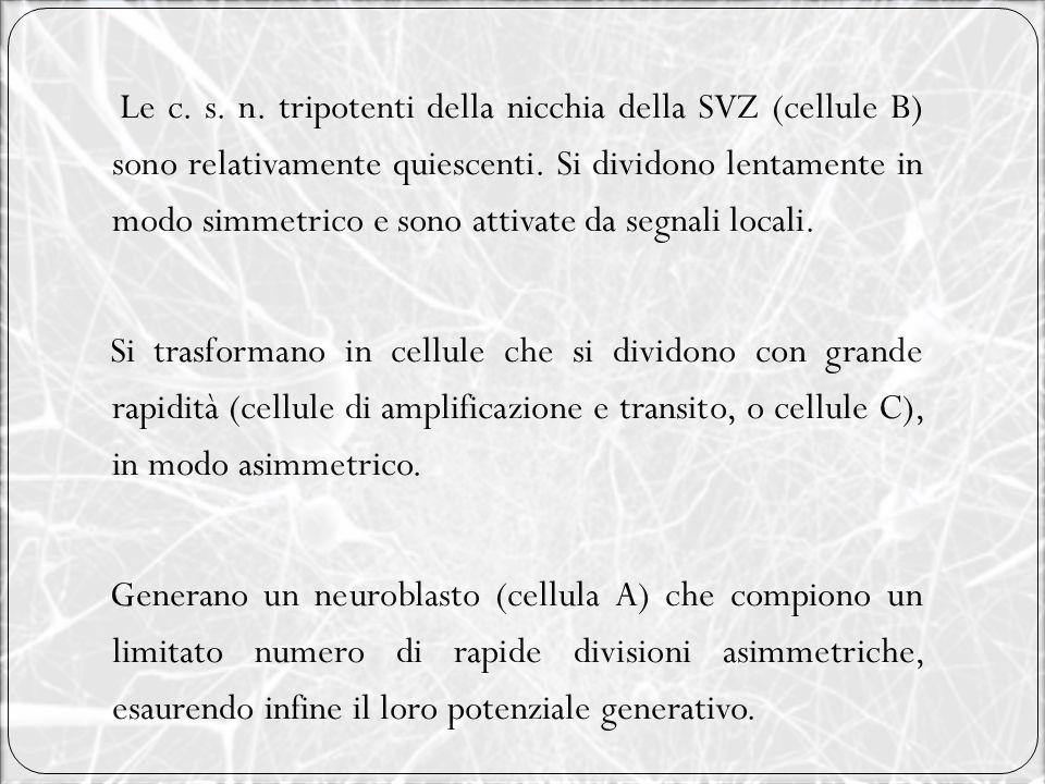 Le c. s. n. tripotenti della nicchia della SVZ (cellule B) sono relativamente quiescenti. Si dividono lentamente in modo simmetrico e sono attivate da
