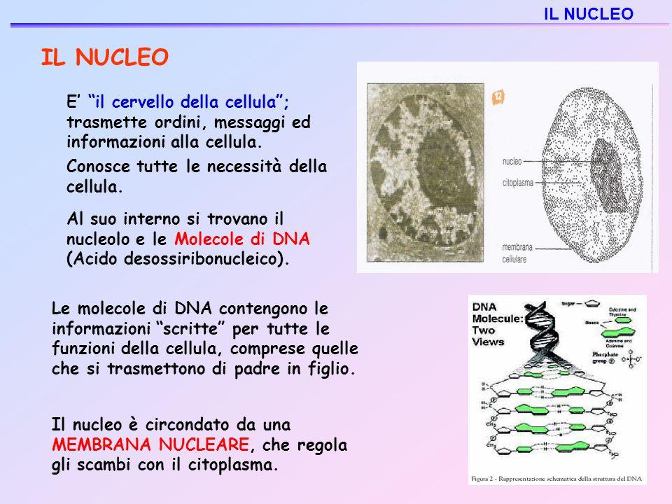 """IL NUCLEO E' """"il cervello della cellula""""; trasmette ordini, messaggi ed informazioni alla cellula. Conosce tutte le necessità della cellula. Al suo in"""
