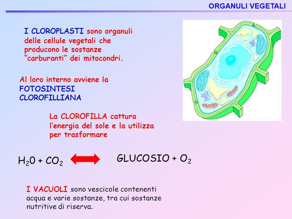 """I CLOROPLASTI sono organuli delle cellule vegetali che producono le sostanze """"carburanti"""" dei mitocondri. I VACUOLI sono vescicole contenenti acqua e"""