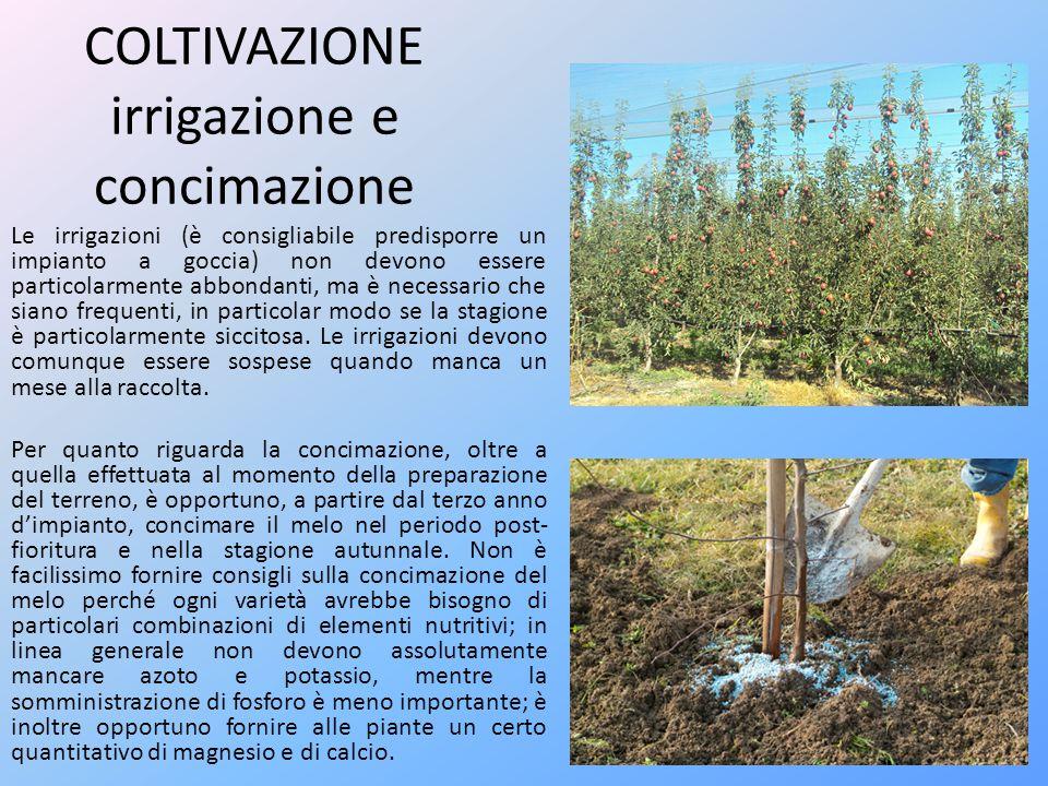 COLTIVAZIONE potatura Per quanto riguarda le potature è necessario distinguere fra quella di allevamento (potatura di formazione) e quella di produzione.