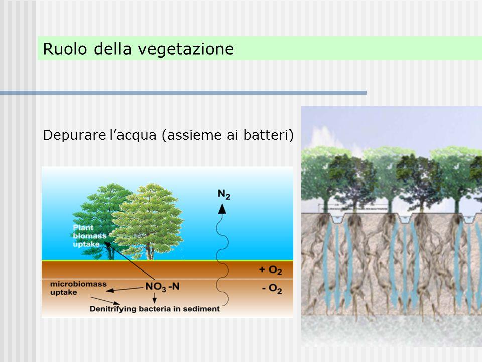 Ruolo della vegetazione Depurare l'acqua (assieme ai batteri)