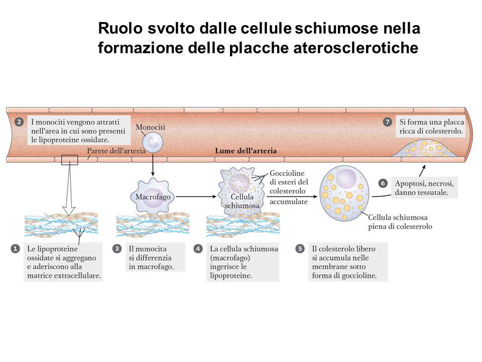 Ruolo svolto dalle cellule schiumose nella formazione delle placche aterosclerotiche