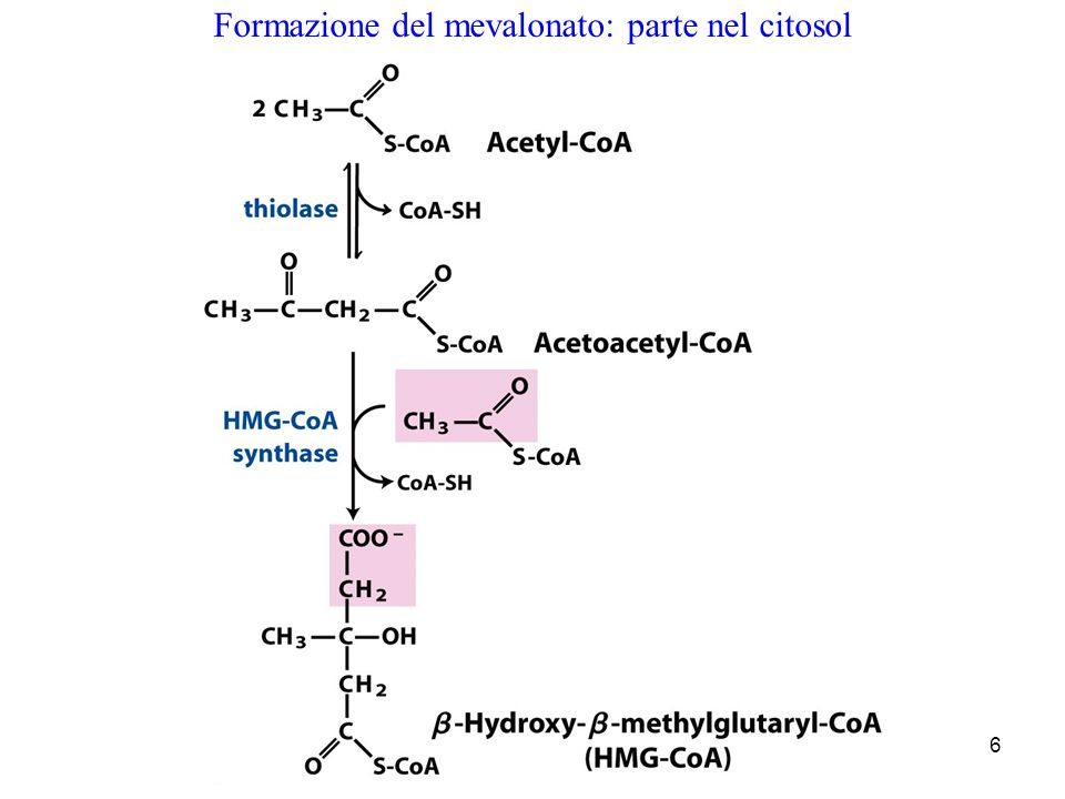 6 Formazione del mevalonato: parte nel citosol