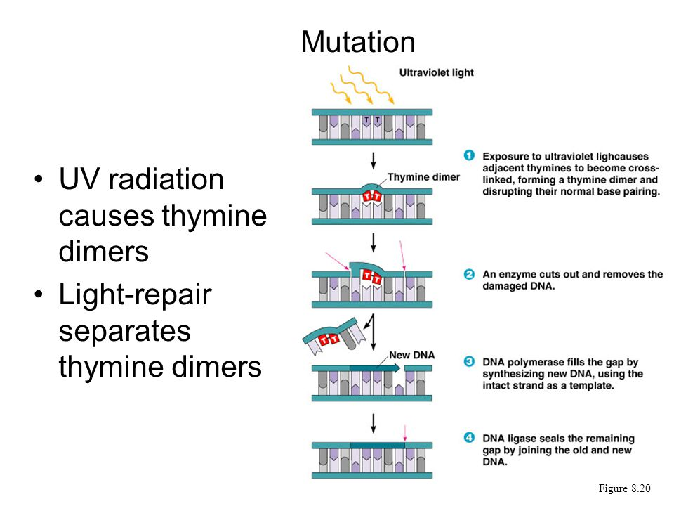 UV radiation causes thymine dimers Light-repair separates thymine dimers Mutation Figure 8.20