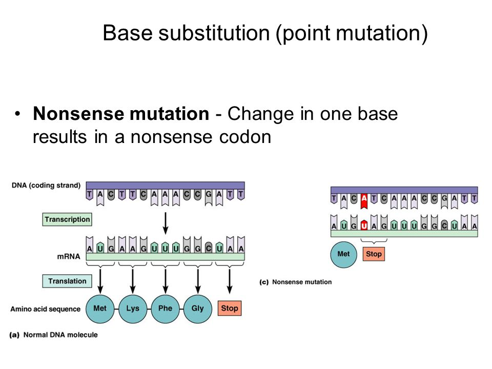 Nonsense mutation - Change in one base results in a nonsense codon Base substitution (point mutation)