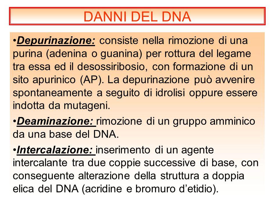 Depurinazione: consiste nella rimozione di una purina (adenina o guanina) per rottura del legame tra essa ed il desossiribosio, con formazione di un s