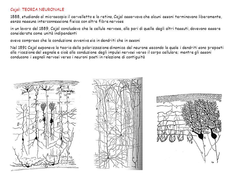 Cajal: TEORIA NEURONALE 1888, studiando al microscopio il cervelletto e la retina, Cajal osservava che alcuni assoni terminavano liberamente, senza ne