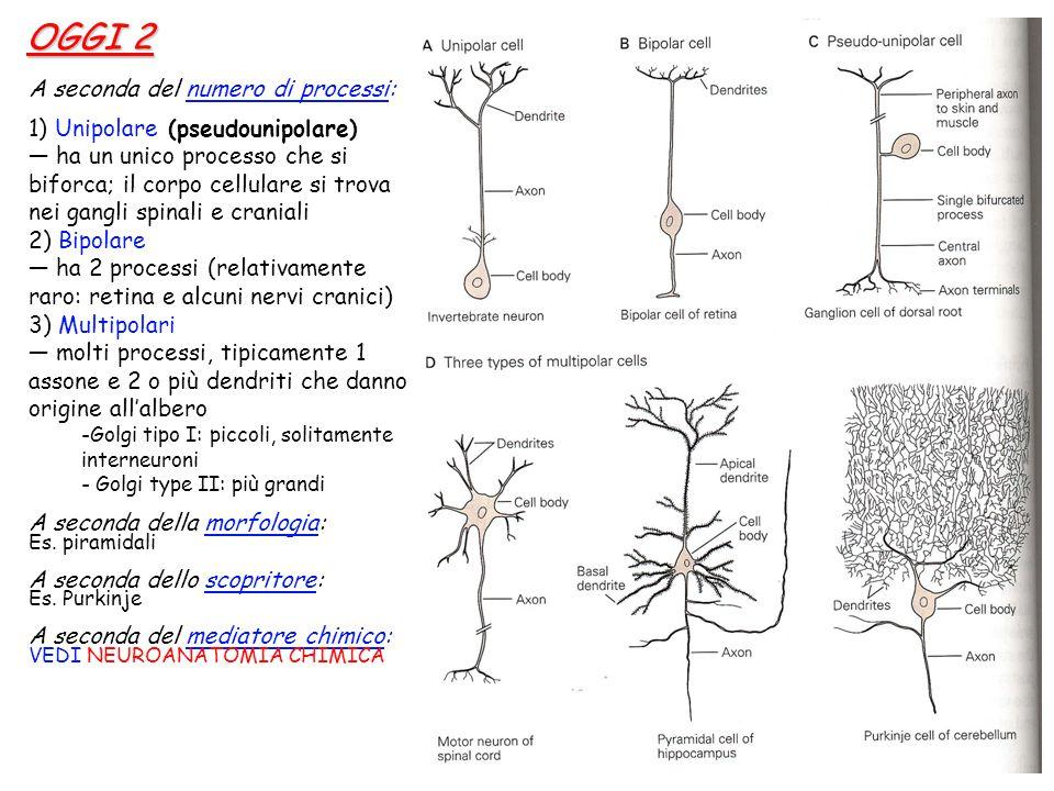 A seconda del numero di processi: 1) Unipolare (pseudounipolare) — ha un unico processo che si biforca; il corpo cellulare si trova nei gangli spinali