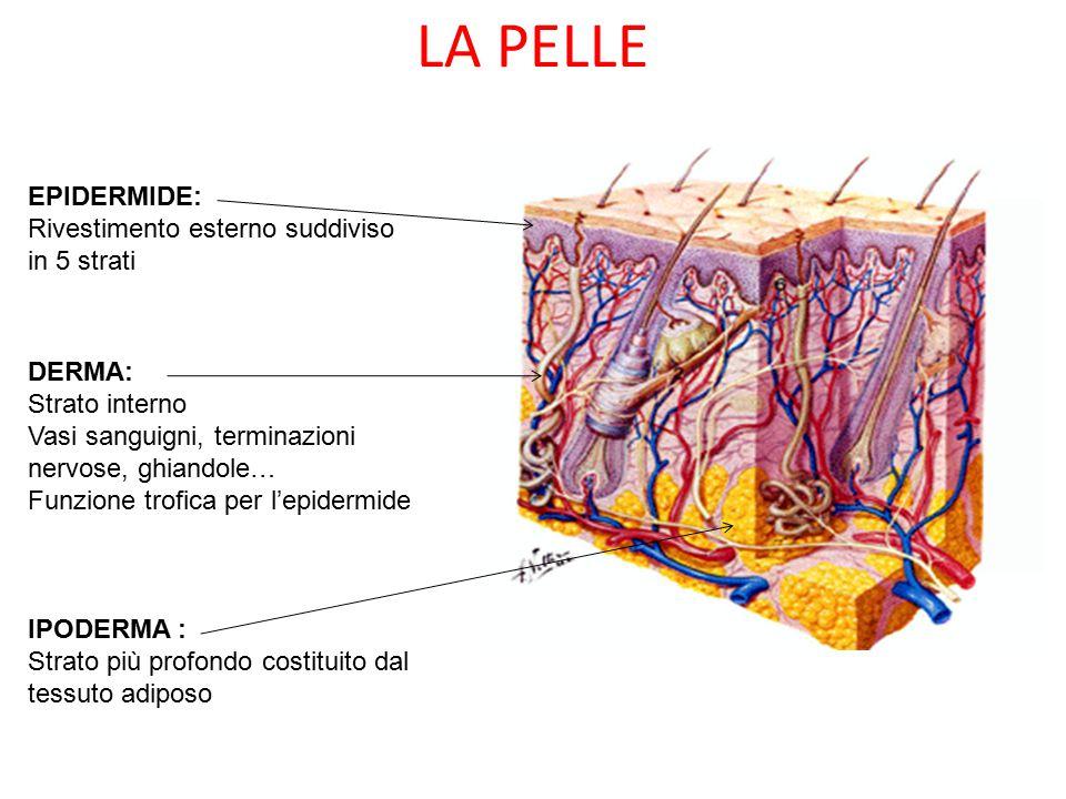 LA PELLE EPIDERMIDE: Rivestimento esterno suddiviso in 5 strati DERMA: Strato interno Vasi sanguigni, terminazioni nervose, ghiandole… Funzione trofica per l'epidermide IPODERMA : Strato più profondo costituito dal tessuto adiposo