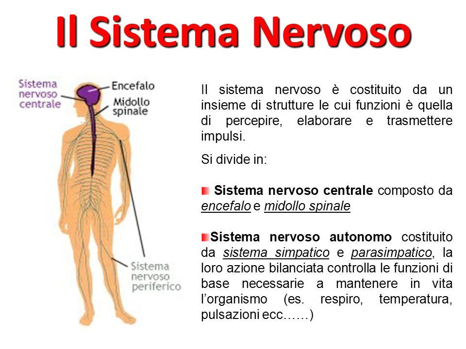 L'encefalo occupa la cavità cranica ed è costituita da Cervello è costituito da 2 emisferi; presiede alle funzioni più complesse, quali pensiero, linguaggio, percezioni sensoriali, movimenti ecc………… Cervelletto la sua funzione è quella di coordinare i movimenti volontari e di mantenere l'equilibrio Tronco encefalico costituito da mesencefalo, ponte e bulbo; tra le sue funzioni c'è la regolazione dello stato sonno-veglia, della respirazione, del battito cardiaco, della deglutizione Il Sistema Nervoso