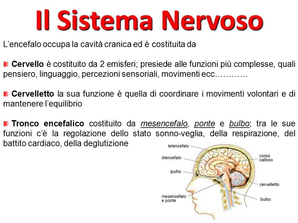 L'encefalo occupa la cavità cranica ed è costituita da Cervello è costituito da 2 emisferi; presiede alle funzioni più complesse, quali pensiero, ling