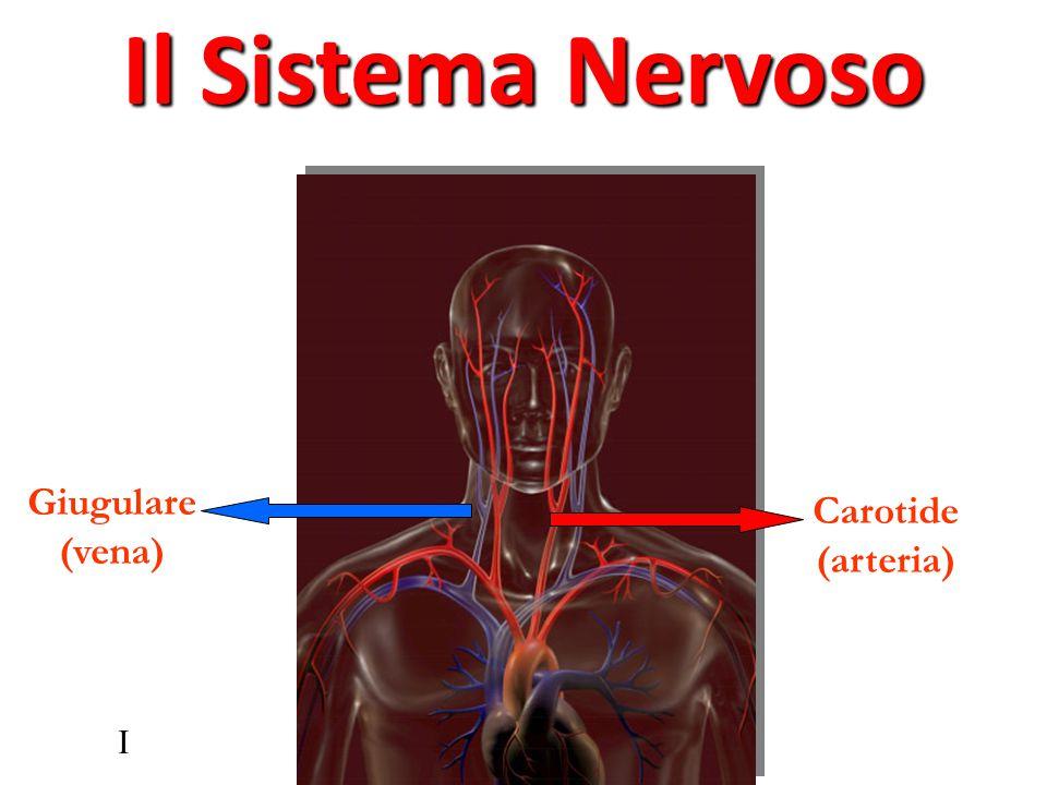 I Carotide (arteria) Giugulare (vena) Il Sistema Nervoso