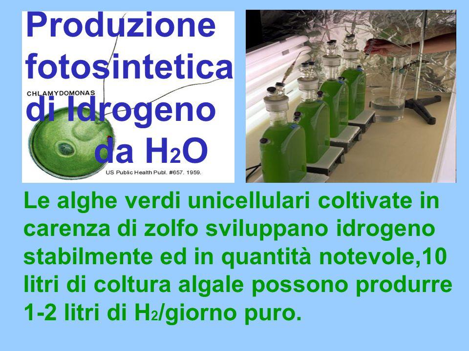 Le alghe verdi unicellulari coltivate in carenza di zolfo sviluppano idrogeno stabilmente ed in quantità notevole,10 litri di coltura algale possono produrre 1-2 litri di H 2 /giorno puro.