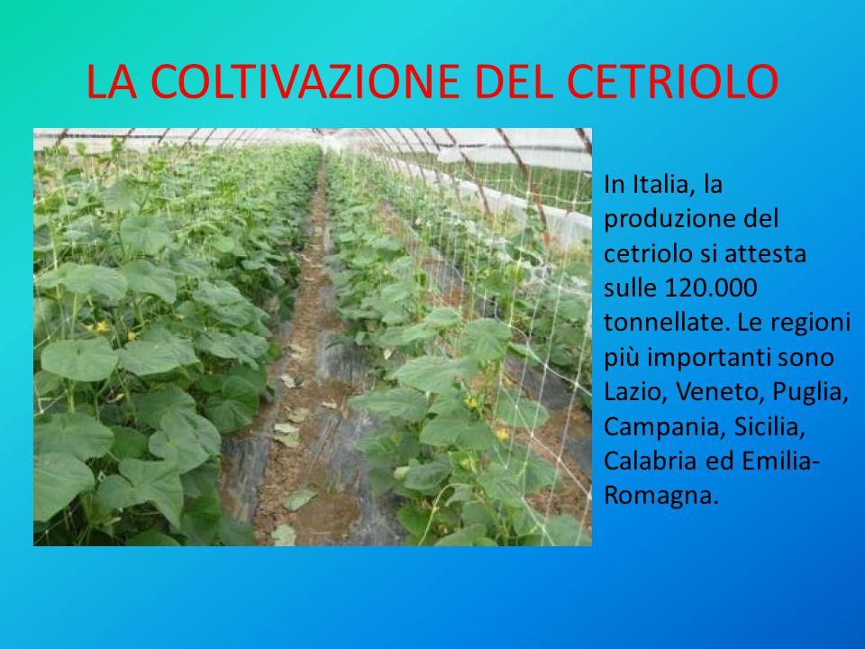 LA COLTIVAZIONE DEL CETRIOLO In Italia, la produzione del cetriolo si attesta sulle 120.000 tonnellate.