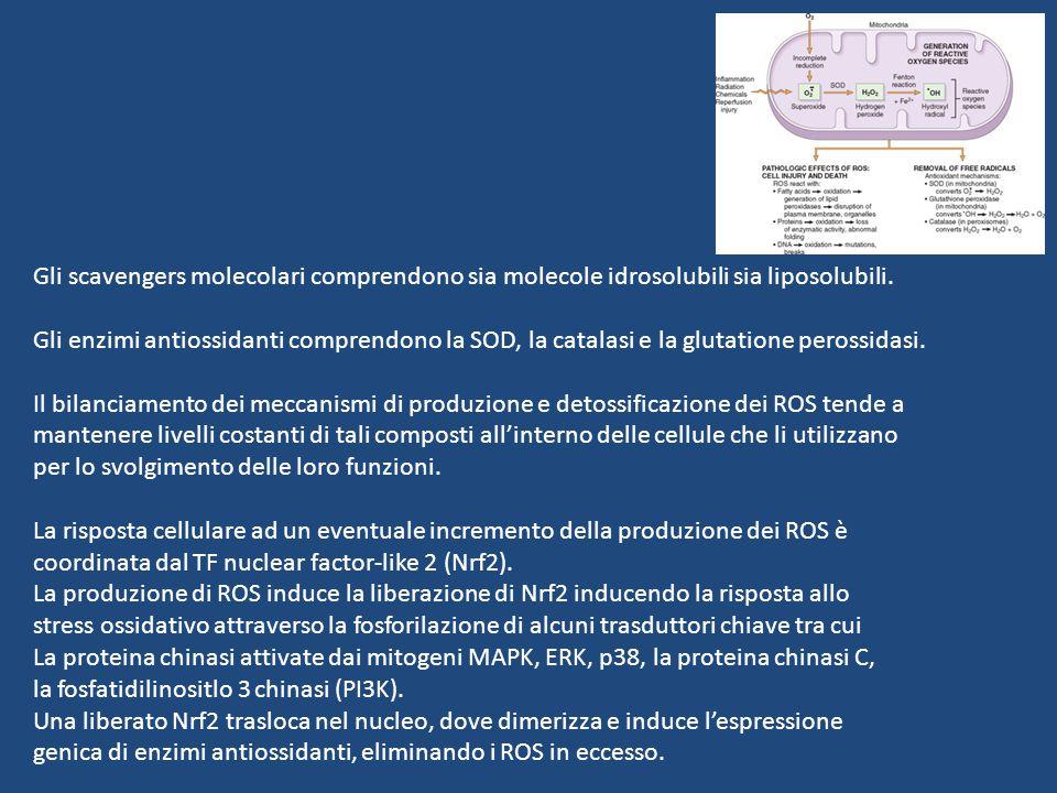 Gli scavengers molecolari comprendono sia molecole idrosolubili sia liposolubili.