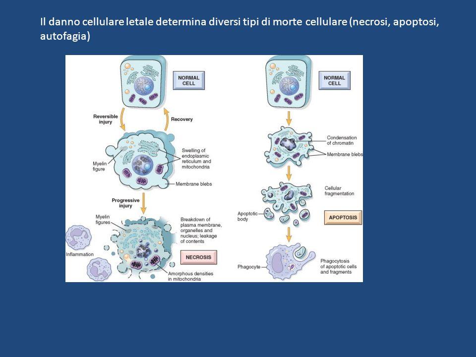 Il danno cellulare letale determina diversi tipi di morte cellulare (necrosi, apoptosi, autofagia)