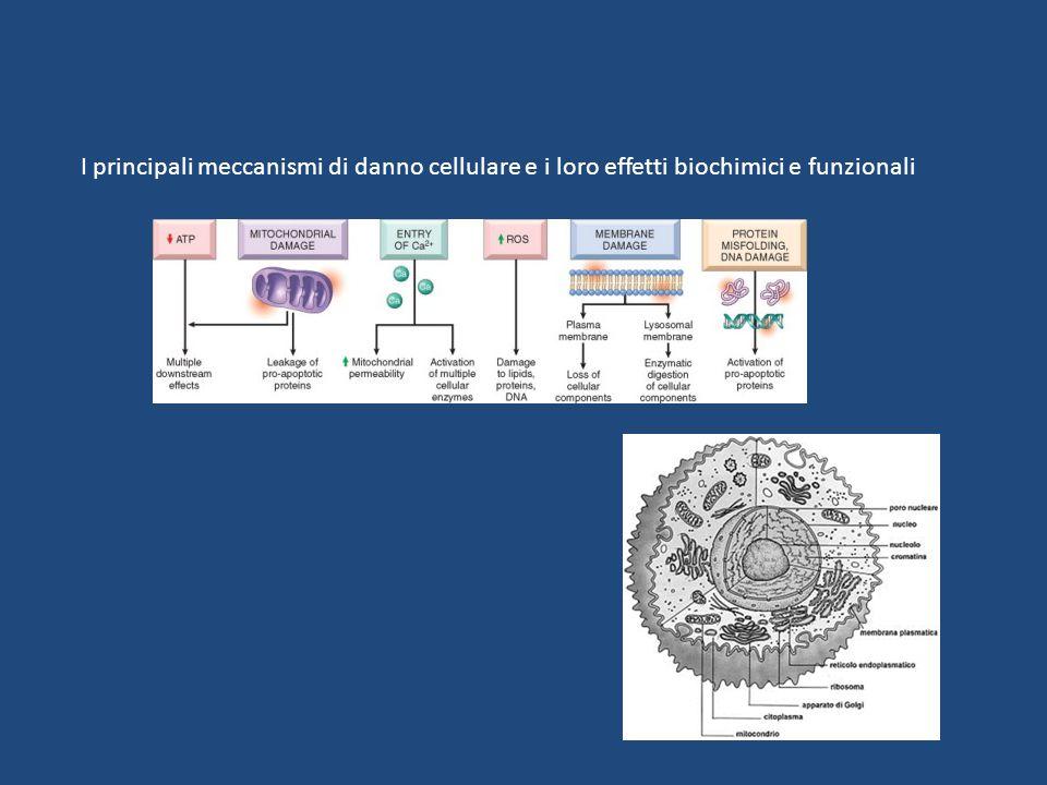 I principali meccanismi di danno cellulare e i loro effetti biochimici e funzionali