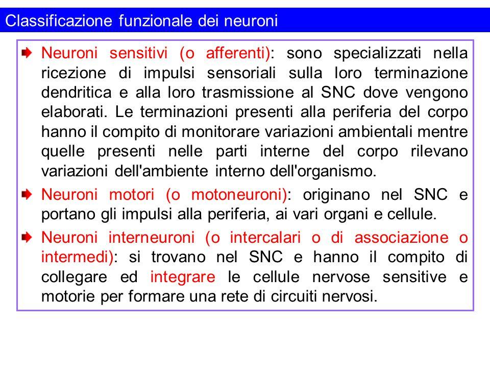 Classificazione funzionale dei neuroni Neuroni sensitivi (o afferenti): sono specializzati nella ricezione di impulsi sensoriali sulla loro terminazio