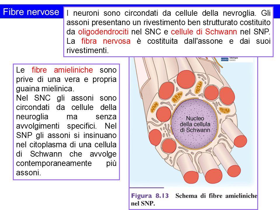 Fibre nervose I neuroni sono circondati da cellule della nevroglia. Gli assoni presentano un rivestimento ben strutturato costituito da oligodendrocit