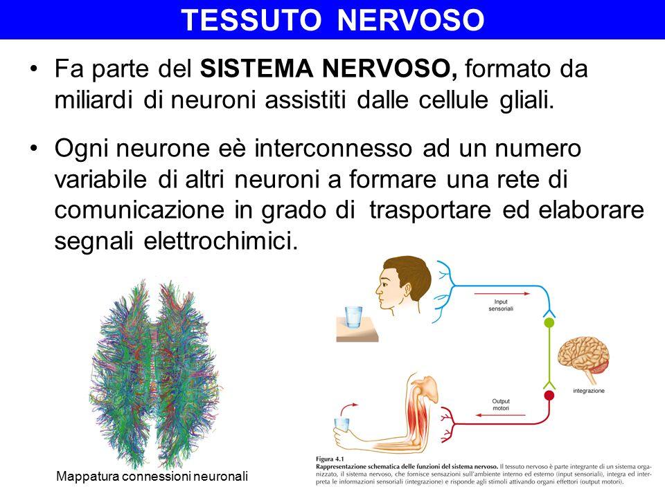 Fa parte del SISTEMA NERVOSO, formato da miliardi di neuroni assistiti dalle cellule gliali. Ogni neurone eè interconnesso ad un numero variabile di a