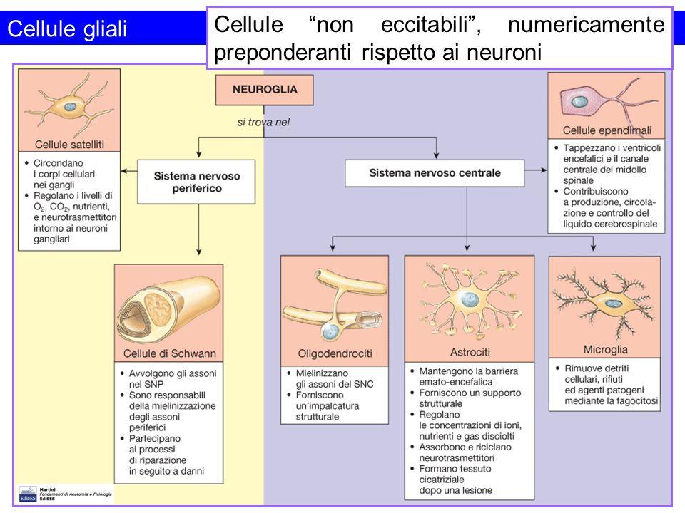 """Cellule gliali Cellule """"non eccitabili"""", numericamente preponderanti rispetto ai neuroni"""