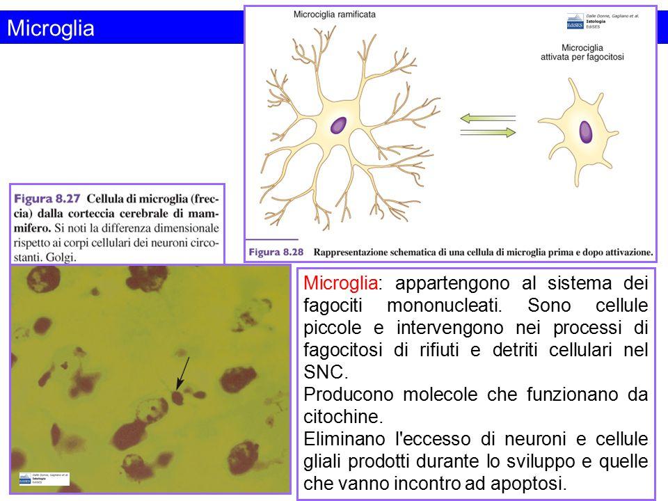 Microglia Microglia: appartengono al sistema dei fagociti mononucleati. Sono cellule piccole e intervengono nei processi di fagocitosi di rifiuti e de