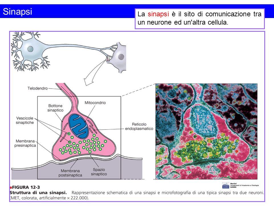 Sinapsi La sinapsi è il sito di comunicazione tra un neurone ed un'altra cellula.