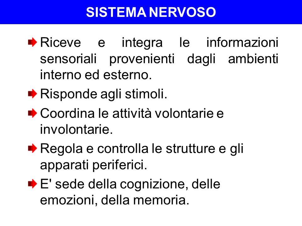 SISTEMA NERVOSO SN Centrale (SNC)SN cerebrospinalenevrasse Encefalo (cervello, cervelletto e tronco encefalico) Midollo spinale (porzione extracranica) SN Periferico (SNP) Gangli cerebrospinali Nervi cranici e spinali Volontario o somatico Involontario, vegetativo, viscerale o autonomo (SNA)
