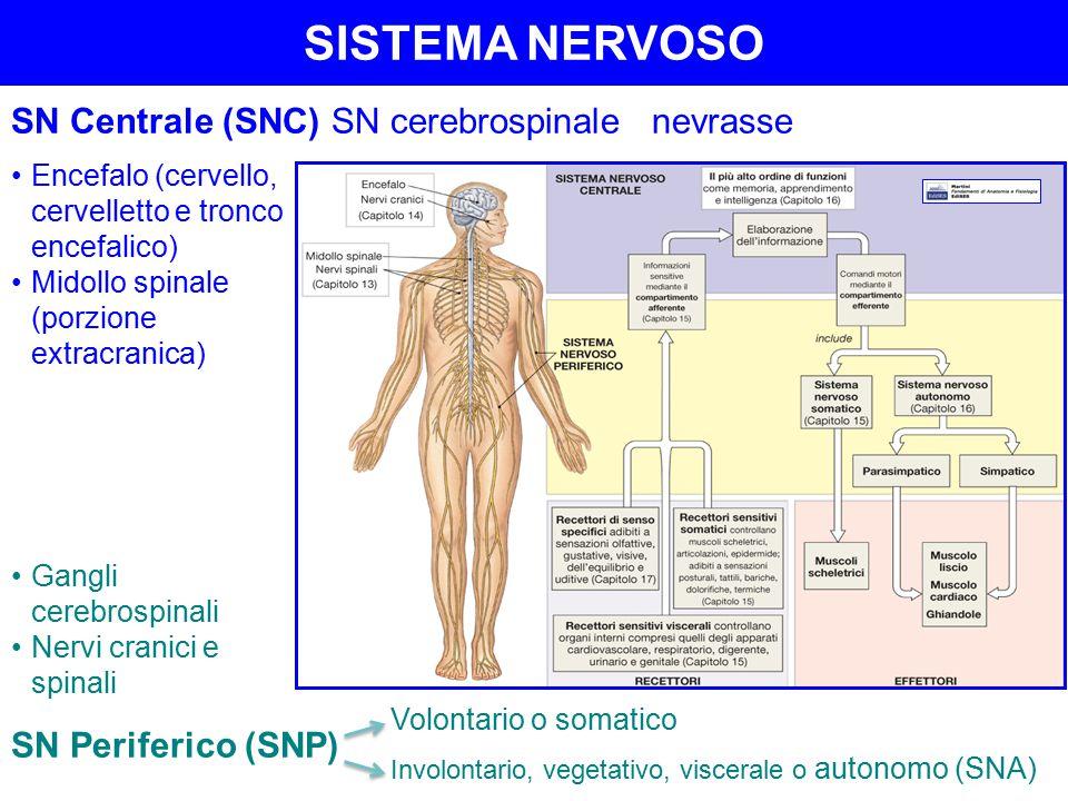 SISTEMA NERVOSO SN Centrale (SNC)SN cerebrospinalenevrasse Encefalo (cervello, cervelletto e tronco encefalico) Midollo spinale (porzione extracranica