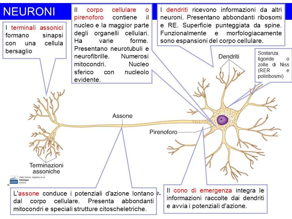 NEURONI I dendriti ricevono informazioni da altri neuroni. Presentano abbondanti ribosomi e RE. Superficie punteggiata da spine. Funzionalmente e morf