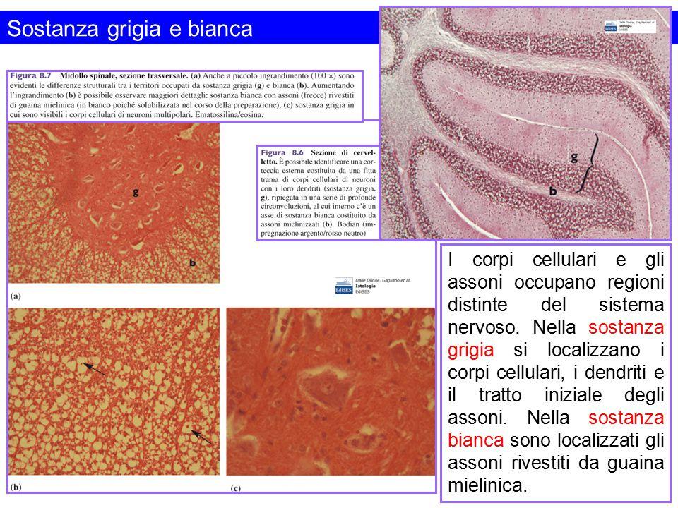 Sostanza grigia e bianca I corpi cellulari e gli assoni occupano regioni distinte del sistema nervoso. Nella sostanza grigia si localizzano i corpi ce