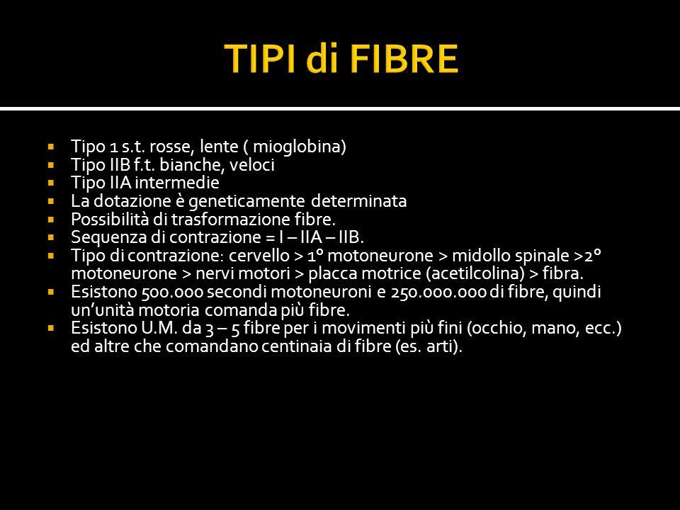  Tipo 1 s.t. rosse, lente ( mioglobina)  Tipo IIB f.t. bianche, veloci  Tipo IIA intermedie  La dotazione è geneticamente determinata  Possibilit