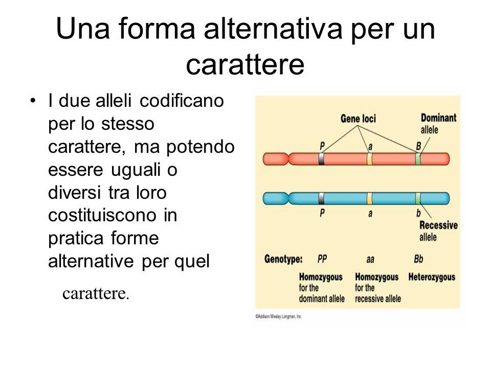 Una forma alternativa per un carattere I due alleli codificano per lo stesso carattere, ma potendo essere uguali o diversi tra loro costituiscono in p