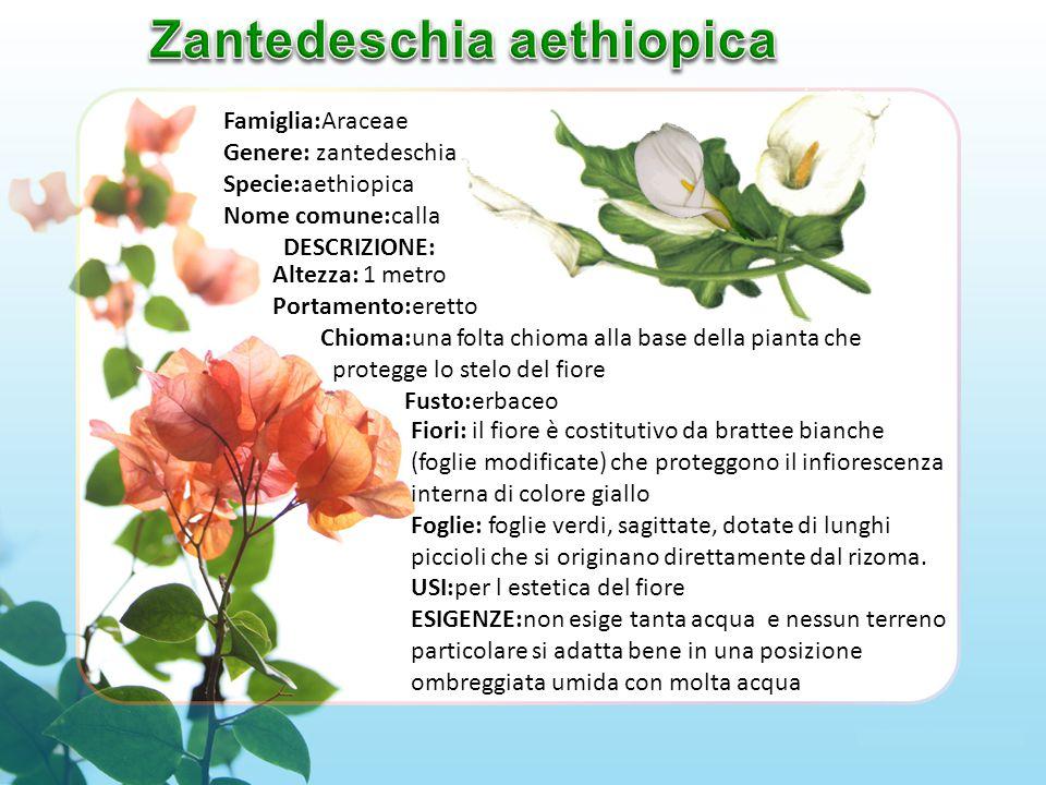 Famiglia:Araceae Genere: zantedeschia Specie:aethiopica Nome comune:calla DESCRIZIONE: Fiori: il fiore è costitutivo da brattee bianche (foglie modificate) che proteggono il infiorescenza interna di colore giallo Foglie: foglie verdi, sagittate, dotate di lunghi piccioli che si originano direttamente dal rizoma.