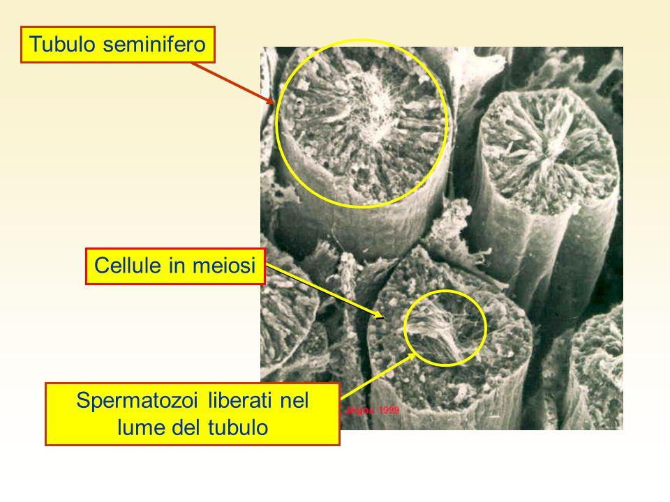 Spermatozoi liberati nel lume del tubulo Cellule in meiosi