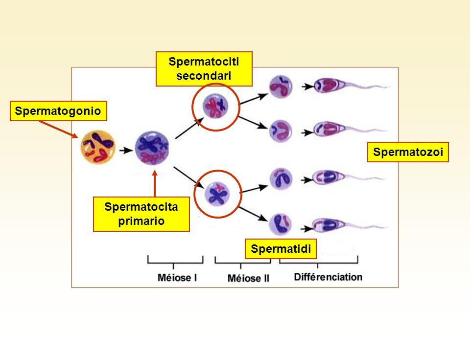 Spermatociti secondari Spermatidi Spermatozoi Spermatogonio Spermatocita primario