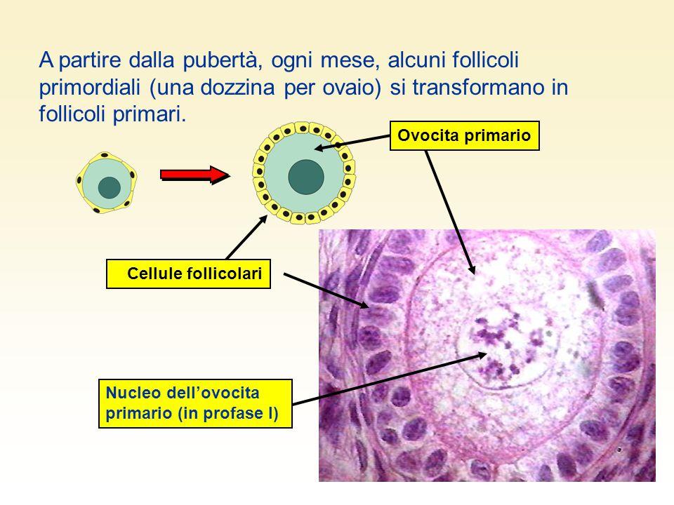 A partire dalla pubertà, ogni mese, alcuni follicoli primordiali (una dozzina per ovaio) si transformano in follicoli primari. Ovocita primario Cellul