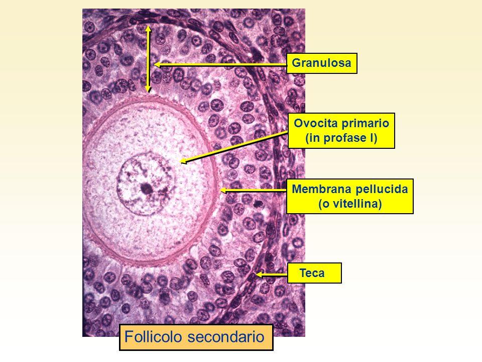 Granulosa TecaMembrana pellucida (o vitellina) Ovocita primario (in profase I) Follicolo secondario