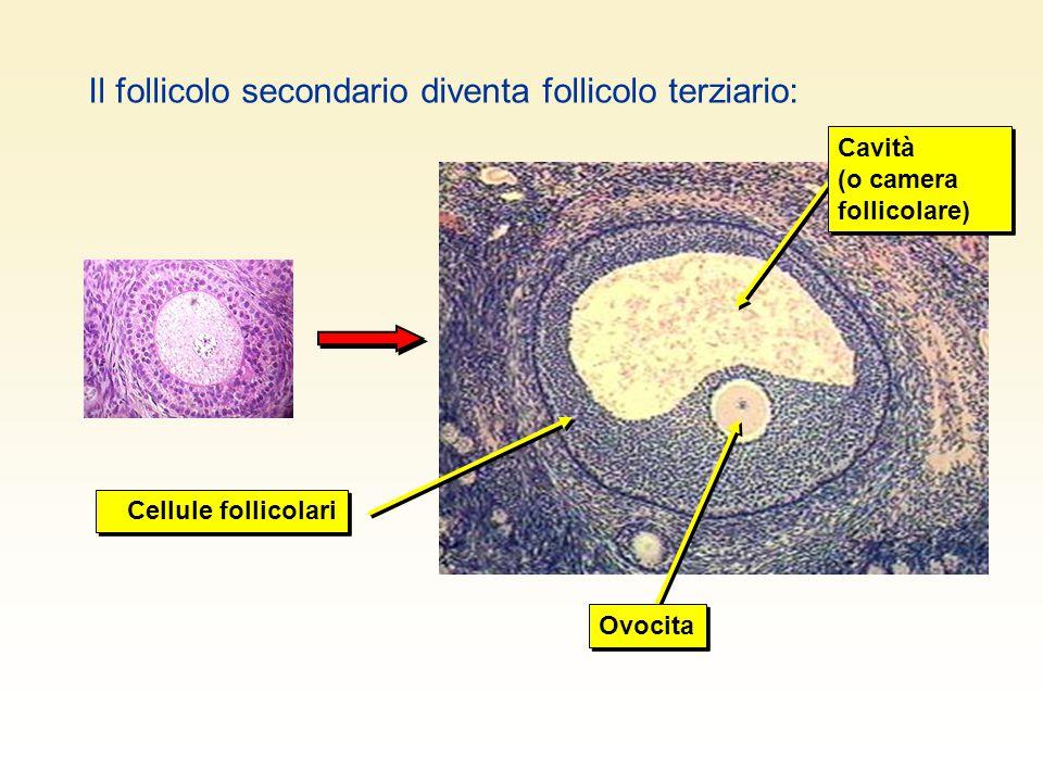 Il follicolo secondario diventa follicolo terziario: Cellule follicolari Ovocita Cavità (o camera follicolare)