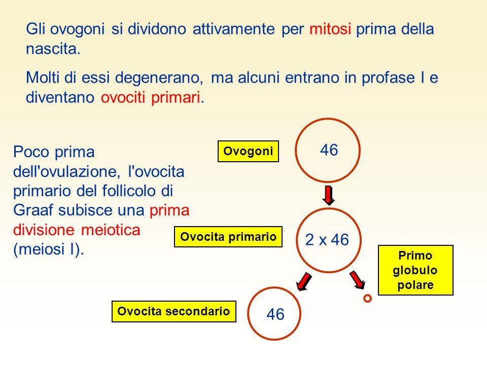 Poco prima dell'ovulazione, l'ovocita primario del follicolo di Graaf subisce una prima divisione meiotica (meiosi I). 46 Ovogoni Ovocita secondario P