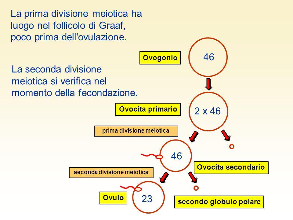 46 Ovogonio Ovocita primario 2 x 46 46 prima divisione meiotica La seconda divisione meiotica si verifica nel momento della fecondazione. La prima div