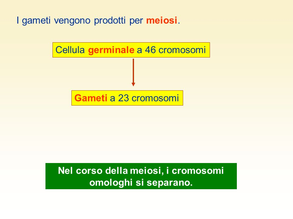 I gameti vengono prodotti per meiosi. Cellula germinale a 46 cromosomi Gameti a 23 cromosomi Nel corso della meiosi, i cromosomi omologhi si separano.