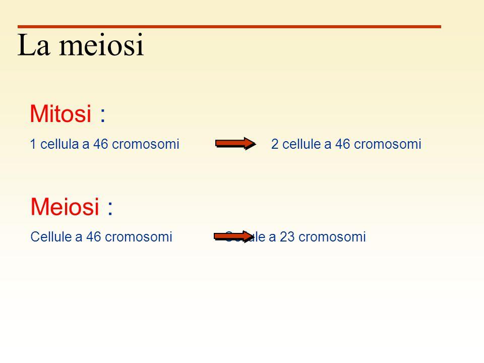 46 Ovogonio Ovocita primario 2 x 46 46 prima divisione meiotica La seconda divisione meiotica si verifica nel momento della fecondazione.