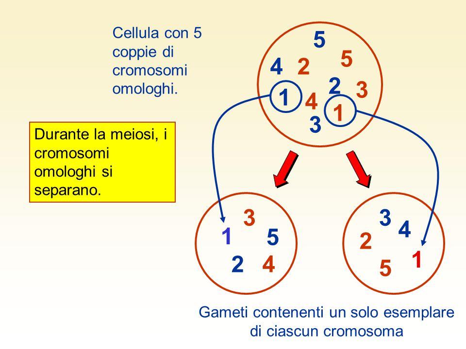 1 2 3 4 5 5 3 1 4 2 5 5 33 4 4 2 2 Cellula con 5 coppie di cromosomi omologhi. Gameti contenenti un solo esemplare di ciascun cromosoma 1 1 Durante la
