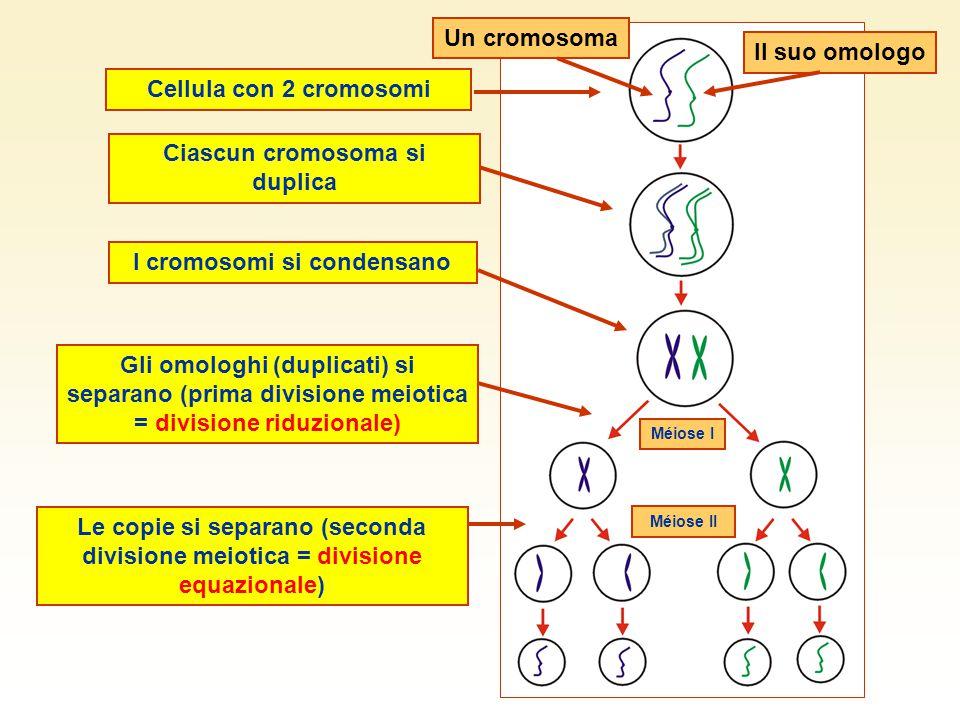 La spermatogenesi Spermatozoi neoformati liberati nel lume del tubulo Cellule in divisione nella parete del tubulo (mitosi e meiosi) Testicolo Epididimo Tubulo seminifero
