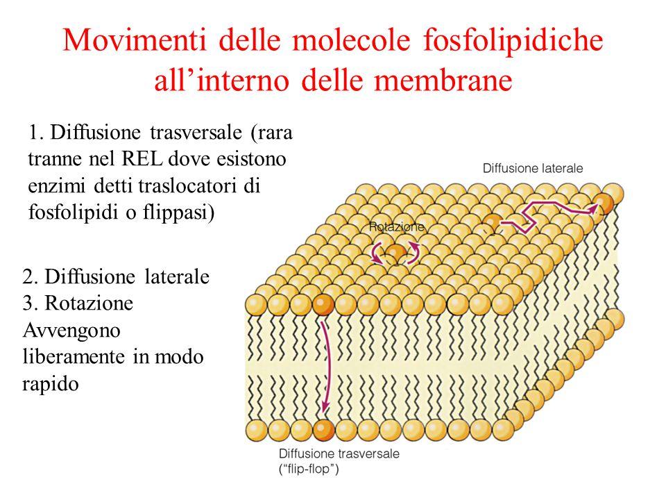 Movimenti delle molecole fosfolipidiche all'interno delle membrane 1.