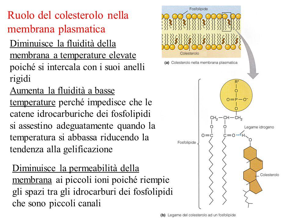 Ruolo del colesterolo nella membrana plasmatica Diminuisce la fluidità della membrana a temperature elevate poiché si intercala con i suoi anelli rigidi Aumenta la fluidità a basse temperature perché impedisce che le catene idrocarburiche dei fosfolipidi si assestino adeguatamente quando la temperatura si abbassa riducendo la tendenza alla gelificazione Diminuisce la permeabilità della membrana ai piccoli ioni poiché riempie gli spazi tra gli idrocarburi dei fosfolipidi che sono piccoli canali