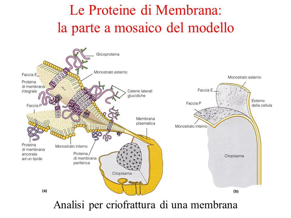 Le Proteine di Membrana: la parte a mosaico del modello Analisi per criofrattura di una membrana