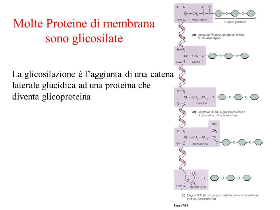 Molte Proteine di membrana sono glicosilate La glicosilazione è l'aggiunta di una catena laterale glucidica ad una proteina che diventa glicoproteina