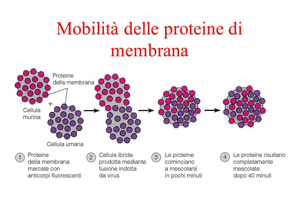 Mobilità delle proteine di membrana